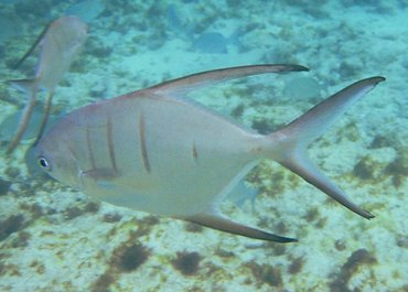 Palometa - Trachinotus goodei - Grand Cayman