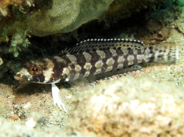 Reticulated Sandperch - Parapercis tetracantha - Dumaguete, Philippines