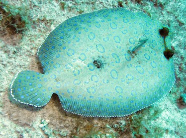 Peacock Flounder - Bothus lunatus - Grand Cayman