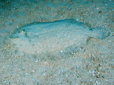 Peacock Flounder - Bothus lunatus - Belize