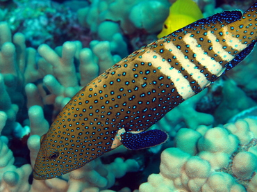 Peacock Grouper - Cephalopholis argus - Big Island, Hawaii