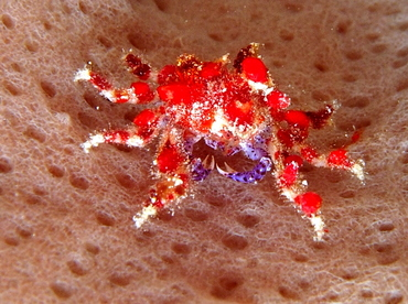 Cryptic Teardrop Crab - Pelia mutica - Belize