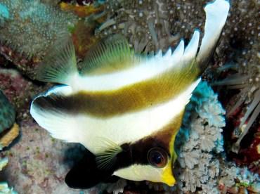 Pennant Bannerfish - Heniochus chrysostomus - Yap, Micronesia