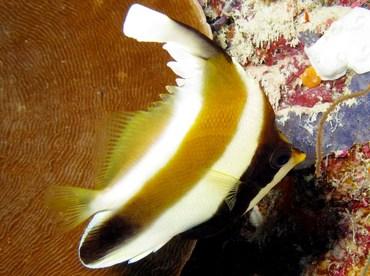 Pennant Bannerfish - Heniochus chrysostomus - Palau