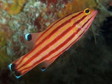 Peppermint Basslet - Liopropoma rubre - Cozumel, Mexico