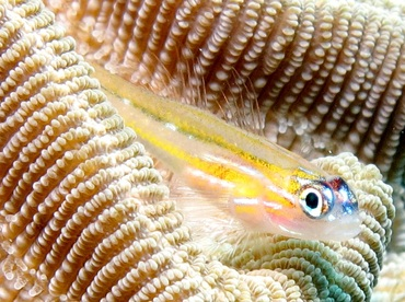 Peppermint Goby - Coryphopterus lipernes - Bonaire
