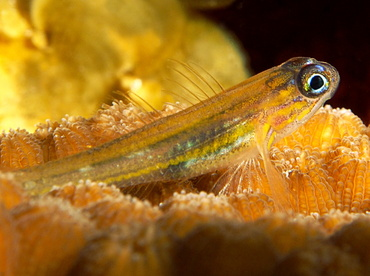 Peppermint Goby - Coryphopterus lipernes - Turks and Caicos