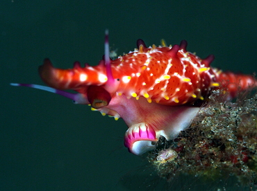 Rosy Spindle Cowry - Phenacovolva rosea - Bali, Indonesia