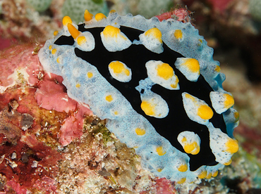 Painted Phyllidia - Phyllidia picta - Wakatobi, Indonesia