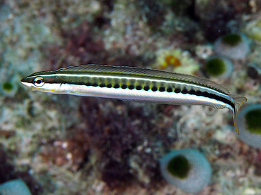 Piano Fangblenny - Plagiotremus tapeinosoma - Great Barrier Reef, Australia