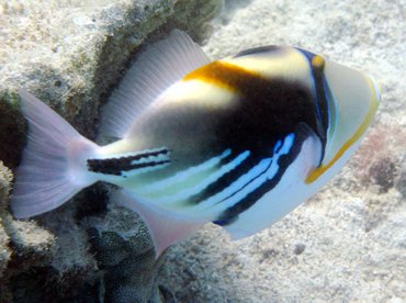 Picasso Triggerfish - Rhinecanthus aculeatus - Big Island, Hawaii