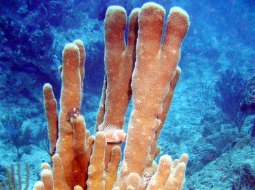 Pillar Coral - Dendrogyra cylindrus - Turks and Caicos