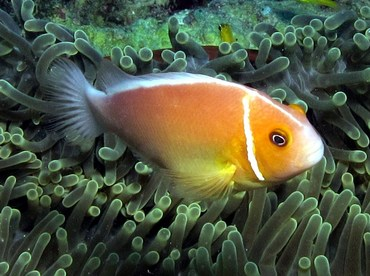 Pink Anemonefish - Amphiprion perideraion - Palau