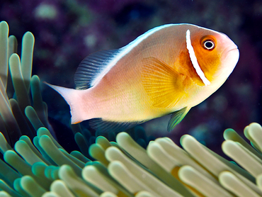 Pink Anemonefish - Amphiprion perideraion - Great Barrier Reef, Australia