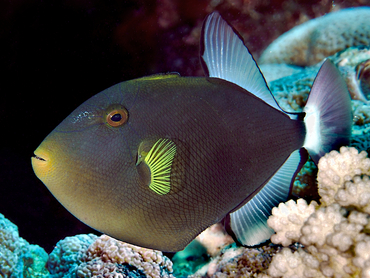 Pinktail Triggerfish - Melichthys vidua - Great Barrier Reef, Australia