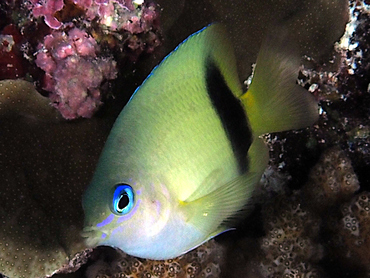 Johnston Damsel - Plectroglyphidodon johnstonianus - Great Barrier Reef, Australia