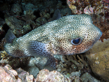 Porcupinefish - Diodon hystrix - Great Barrier Reef, Australia