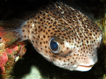 Porcupinefish - Diodon hystrix - Big Island, Hawaii