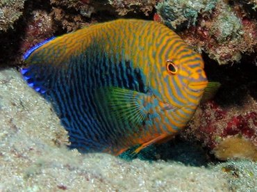 Potter's Angelfish - Centropyge potteri - Lanai, Hawaii