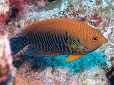 Potter's Angelfish - Centropyge potteri - Maui, Hawaii
