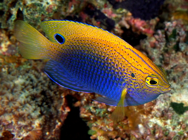 Princess Damselfish - Pomacentrus vaiuli - Fiji
