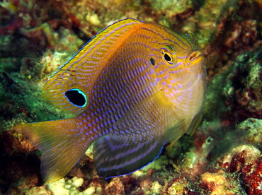 Princess Damselfish - Pomacentrus vaiuli - Anilao, Philippines