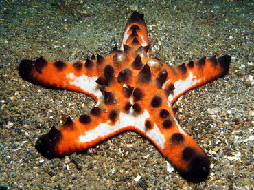 Chocolate Chip Sea Star - Protoreaster nodosus - Lembeh Strait, Indonesia