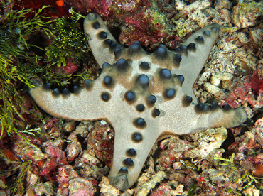 Chocolate Chip Sea Star - Protoreaster nodosus - Wakatobi, Indonesia