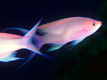 Purple Queen Anthias - Pseudanthias pascalus - Great Barrier Reef, Australia