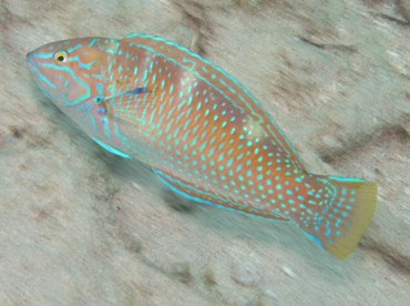 Puddingwife - Halichoeres radiatus - St Thomas, USVI