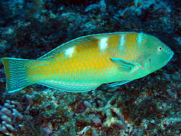 Puddingwife - Halichoeres radiatus - Cozumel, Mexico
