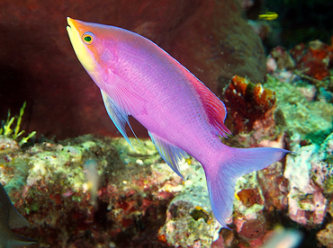 Purple Anthias - Pseudanthias tuka - Wakatobi, Indonesia