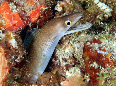 Purplemouth Moray Eel - Gymnothorax vicinus - Palm Beach, Florida