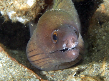 Purplemouth Moray Eel - Gymnothorax vicinus - Blue Heron Bridge, Florida