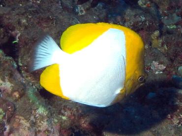 Pyramid Butterflyfish - Hemitaurichthys polylepis - Lanai, Hawaii