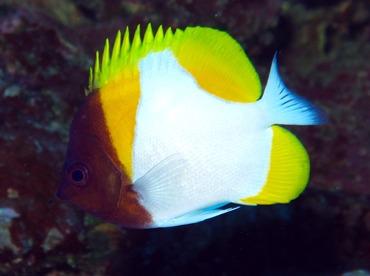 Pyramid Butterflyfish - Hemitaurichthys polylepis - Yap, Micronesia