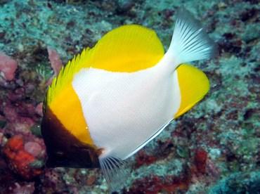 Pyramid Butterflyfish - Hemitaurichthys polylepis - Palau