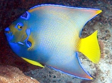 Queen Angelfish - Holacanthus ciliaris - Cat Cays, Bahamas
