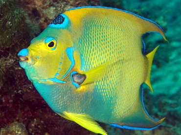 Queen Angelfish - Holacanthus ciliaris - Eleuthera, Bahamas