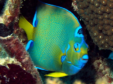 Queen Angelfish - Holacanthus ciliaris - Turks and Caicos