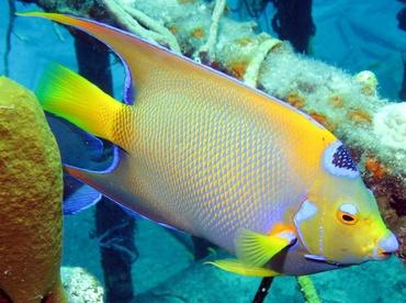 Queen Angelfish - Holacanthus ciliaris - Nassau, Bahamas