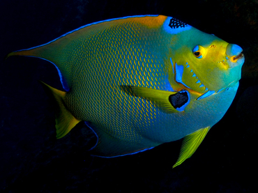 Queen Angelfish - Holacanthus ciliaris - Cozumel, Mexico
