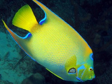 Queen Angelfish - Holacanthus ciliaris - Bonaire