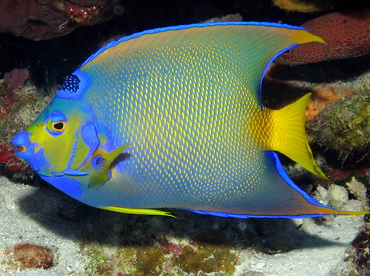 Queen Angelfish - Holacanthus ciliaris - Grand Cayman