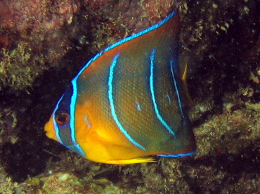 Queen Angelfish - Holacanthus ciliaris - Key Largo, Florida