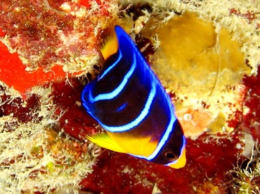 Queen Angelfish - Holacanthus ciliaris - St Thomas, USVI