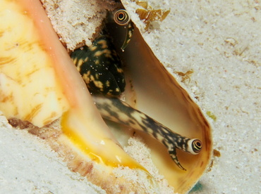 Queen Conch - Aliger gigas - Turks and Caicos
