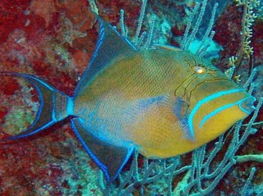 Queen Triggerfish - Balistes vetula - Little Cayman