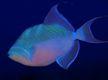 Queen Triggerfish - Balistes vetula - Belize