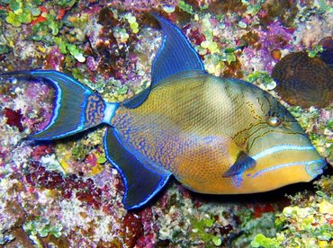 Queen Triggerfish - Balistes vetula - Turks and Caicos